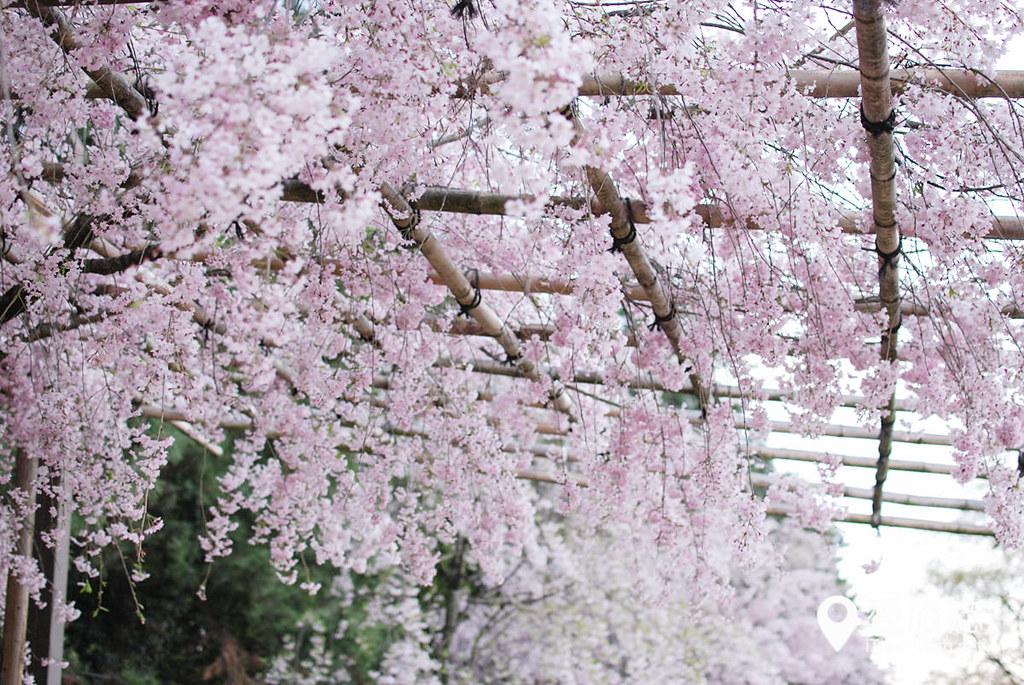 京都赏樱景点 半木之道 31