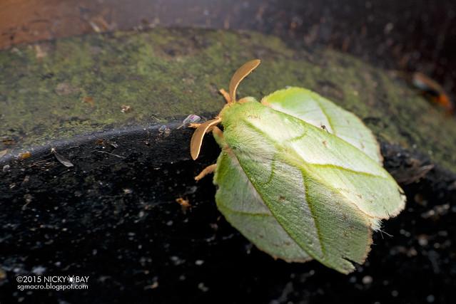 Lappet moth (Trabala sp.) - DSC_5323