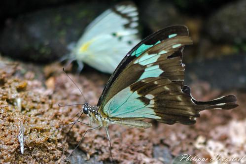Papilio phorcas 20150314_48597