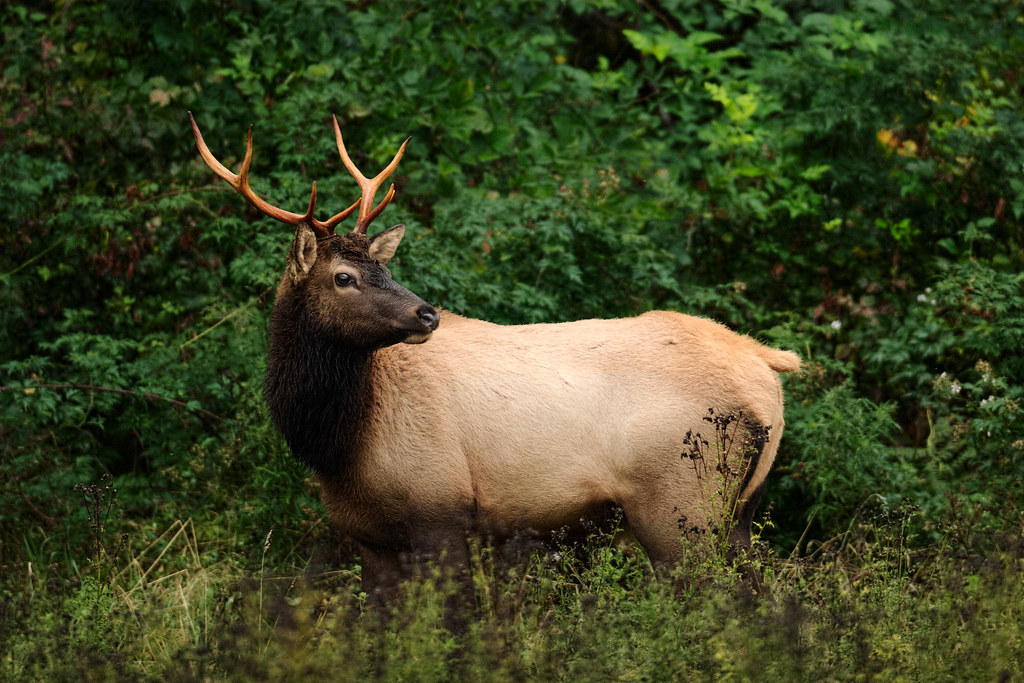 A Roosevelt elk bull in the Hoh Rain Forest of Olympic National Park