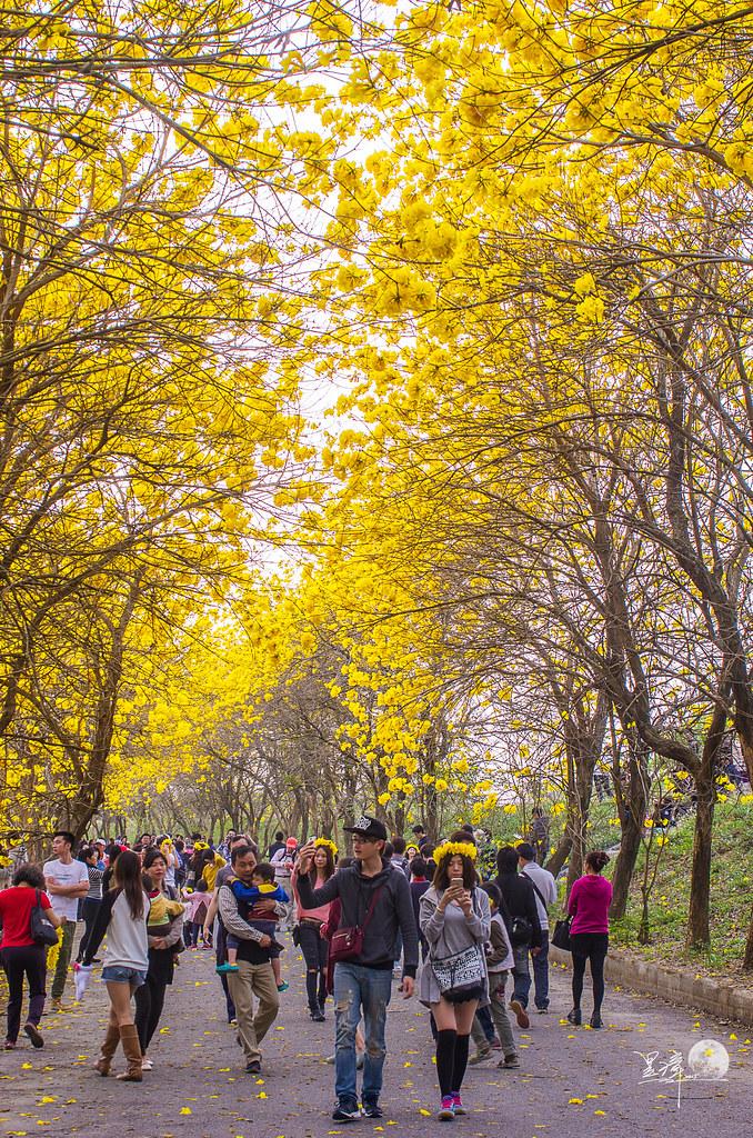 朴子溪畔~黃花風鈴木大道