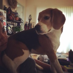 I needed to send some early morning emails, but Dax disagrees with the delay in breakfast. He has decided to sit on my neck until I quit working on my computer... What a spoiled beagle!