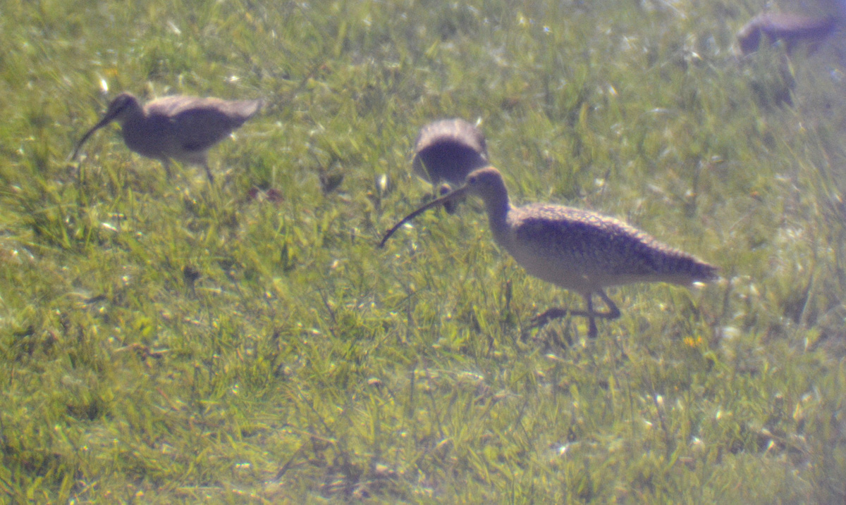 Long-billed Curlew - 4/25/2015