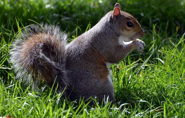 Squirrel DSC_8656