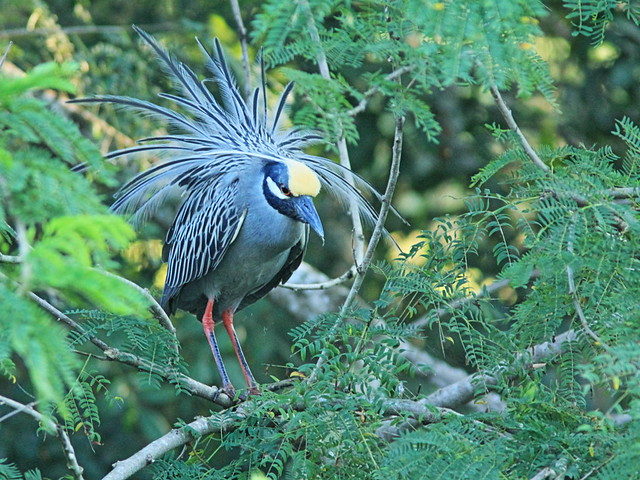 Yellow-crowned Night-Heron display 20150317