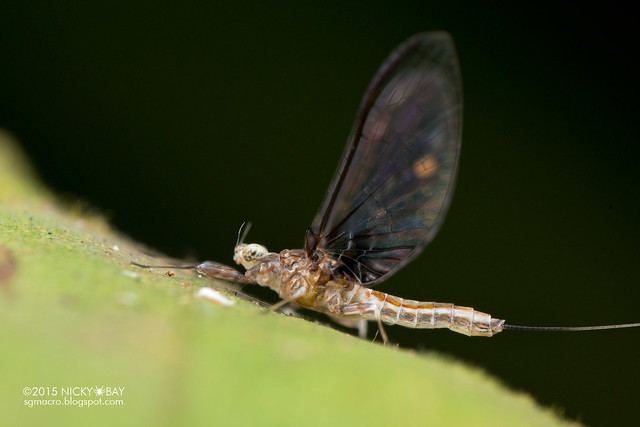 Mayfly (Ephemeroptera) - DSC_4811