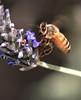 Honey Bee and Heather