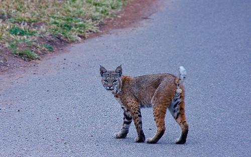 Bobcat (Lynx rufus)