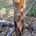 Small photo of Armillaria