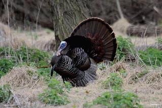 """""""Wild Turkey"""" """"Meleagris gallopavo"""""""