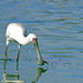 Small photo of African Spoonbill (Platalea alba)