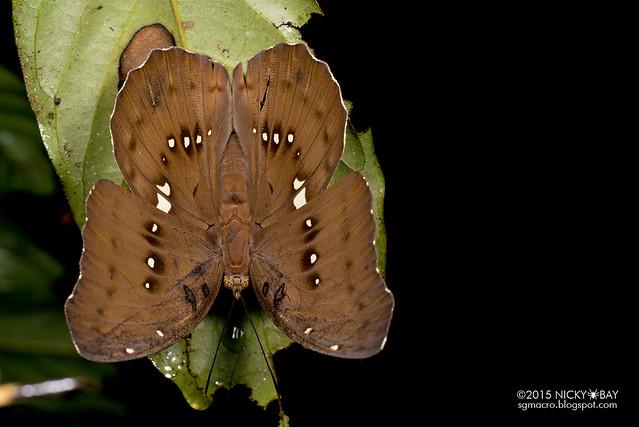 Butterfly (Lepidoptera) - DSC_3034