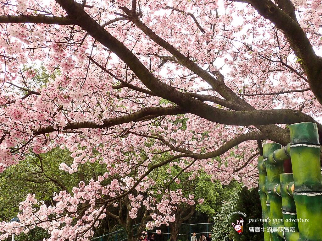 20150317淡水天元宮櫻花