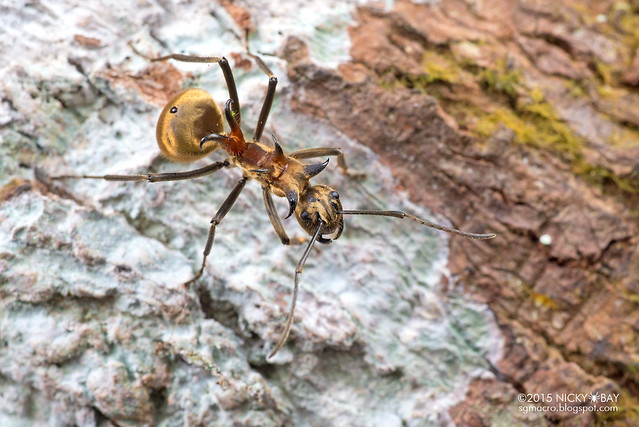 Fish hook ant (Polyrhachis ypsilon) - DSC_4188
