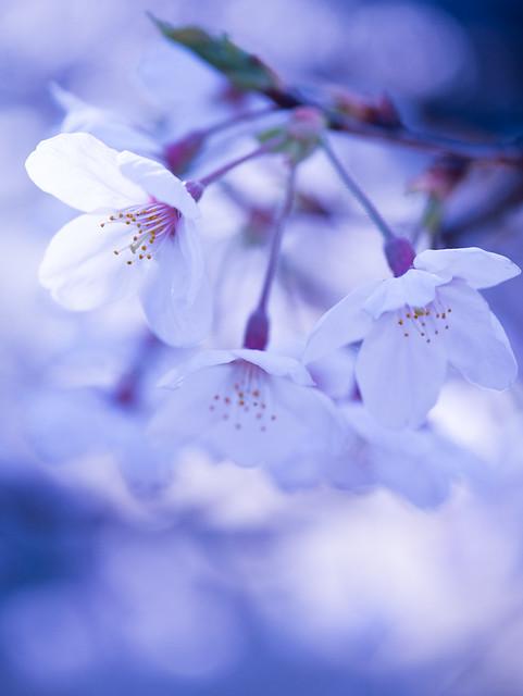 Sakura effetto - macro