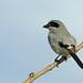 Loggerhead Shrike, Almoloya del Rio, Mexico por Terathopius