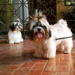 #WhopperShihTzu thinks he can do a better #TOT than his sister #TootsieShihTzu ♥ □□□ #TOT #toungesouttuesday #cute #ShihTzu #puppies #instapup #ShihTzuPhilippines #dogs  #pets #shihtzusofinstagramuse