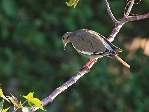 White-winged Dove on Castor Oil bean tree 3-20150402