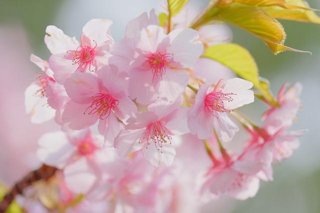 Sakura on green