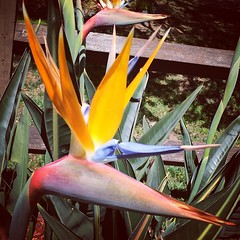 Birds in bloom #birdsofparadise