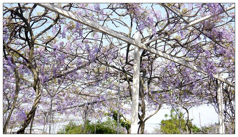 紫藤咖啡園 13