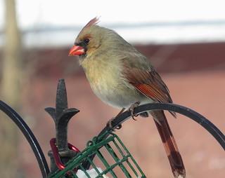 Female Cardinal IMG_3676