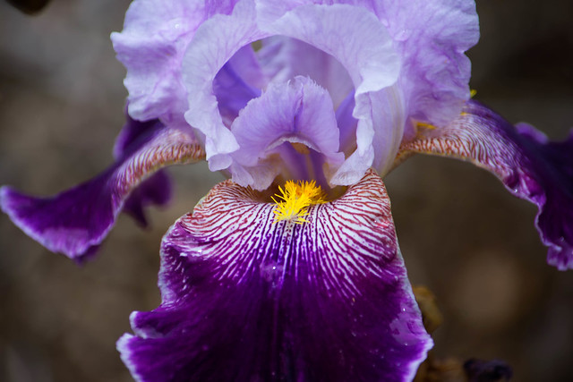 Purple and Yellow Iris.jpg