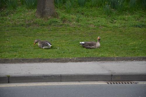 Geese in York Mar 16 (1)