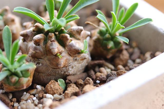 Euphorbia 'Gabizan'