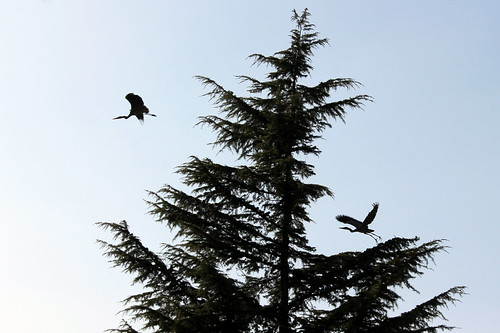 two herons in a fir tree