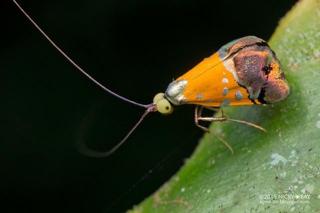 Fairy longhorn moth (Nemophora sp.) - DSC_4101
