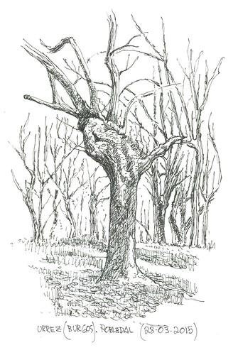 Robledal (Quercus pyrenaica) en Urrez (Burgos)