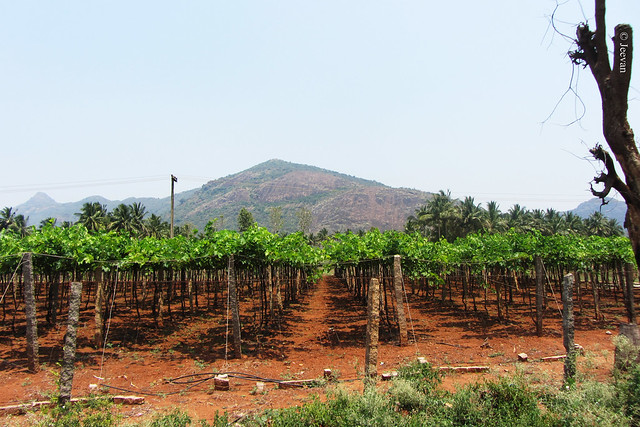 Vineyard at Chinnamanur