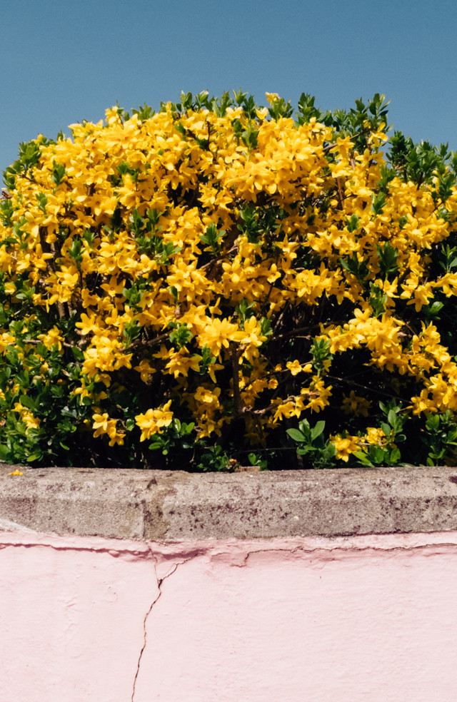 yellow flower bush next to pink wall