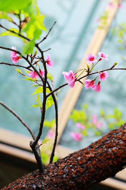 2015隨拍櫻花 (9)