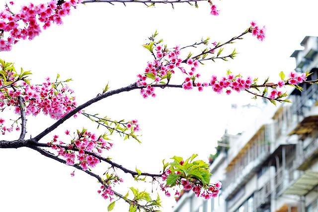 2015隨拍櫻花 (2)