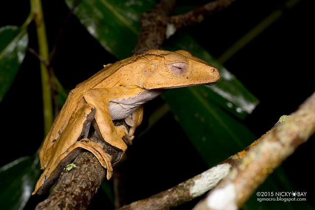 File-eared tree frog (Polypedates otilophus) - DSC_2800