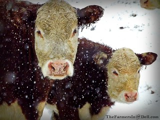 herefords in snow storm