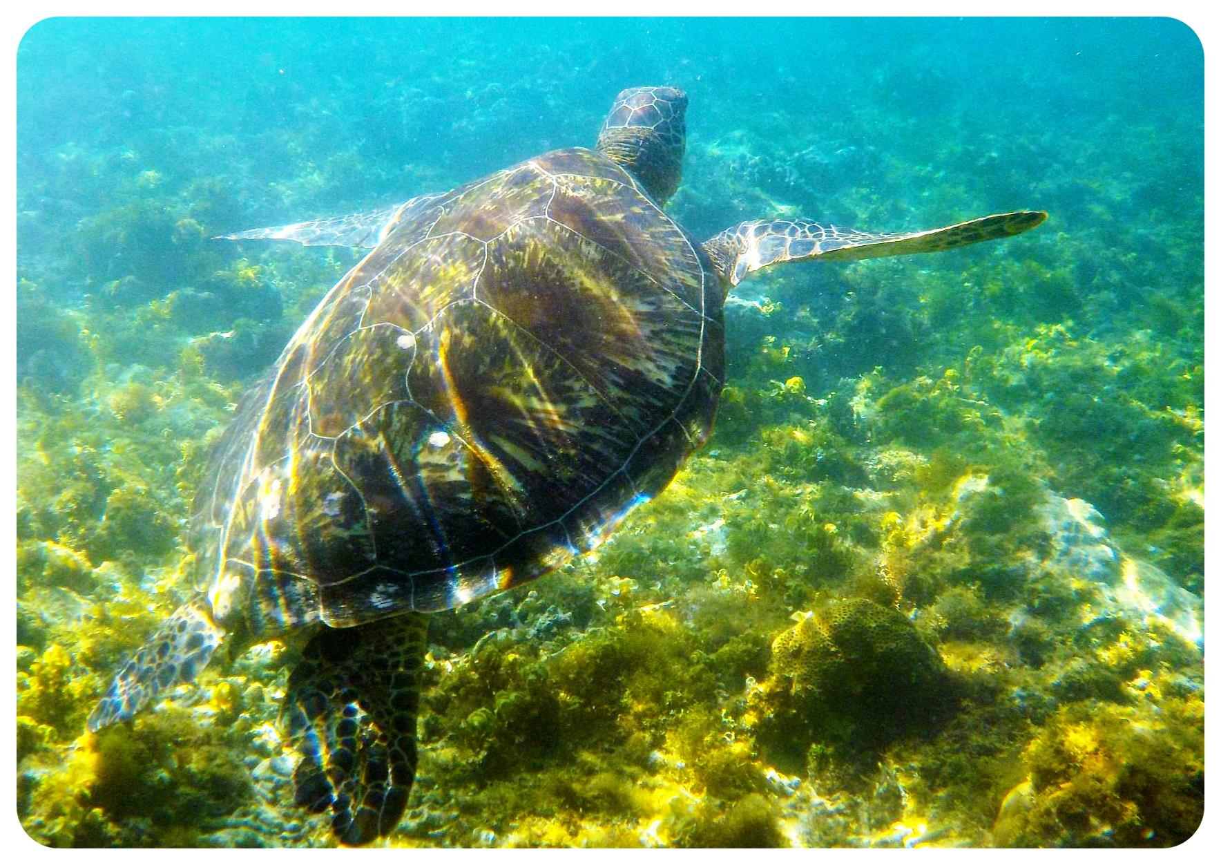 apo island turtle philippines