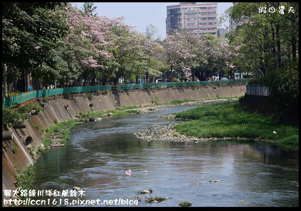 興大路綠川洋紅風鈴木DSC_2252