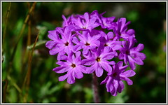Purple Sand Verbena