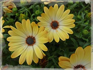 Yellow daisies ✿♡✿