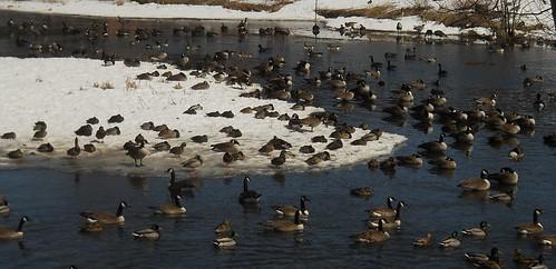 geese UMass