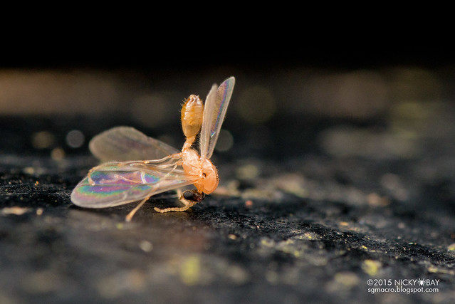 Winged ant (Crematogaster sp.) - DSC_4645
