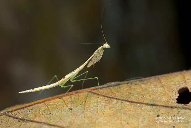 Mantis (Mantodea) - DSC_4797
