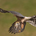 Sparrowhawk with goldfinch 2 by doxhope
