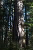 Colossus Redwood