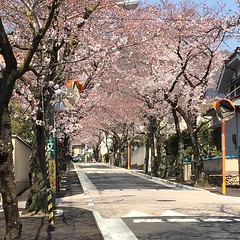 more from around the 'hood🌸#sakura #minoo #osaka #桜 #箕面 #大阪
