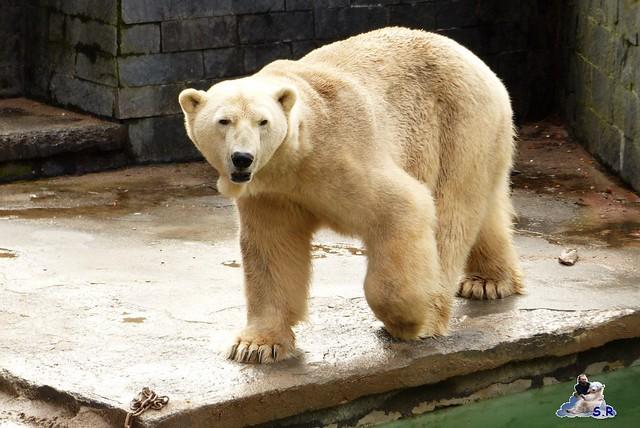 Eisbär Nachwuchs Zoo Rostock 30.03.2015  1