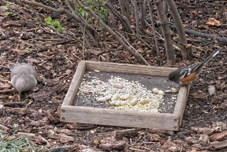 Birdwatching - Spotted Towhee and Mourning Dove